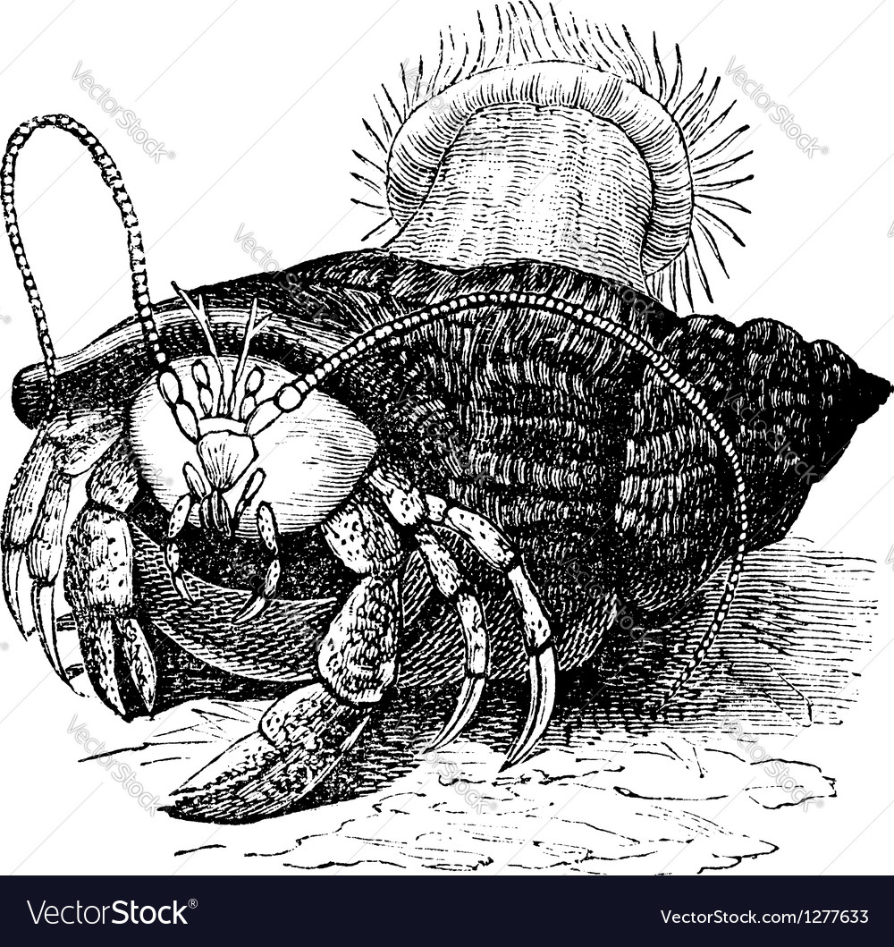 Hermit crab vintage engraving vector | Price: 1 Credit (USD $1)