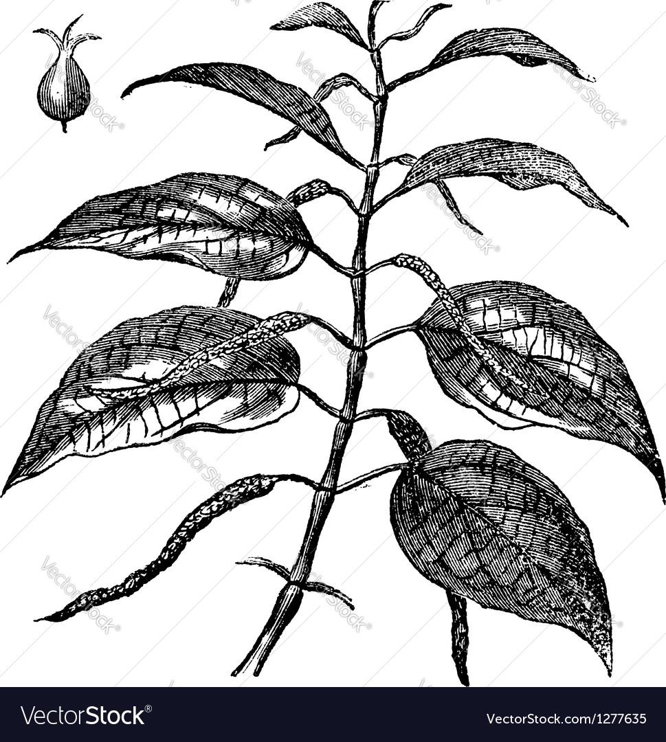 Piper betel leaves engraving vector   Price: 1 Credit (USD $1)