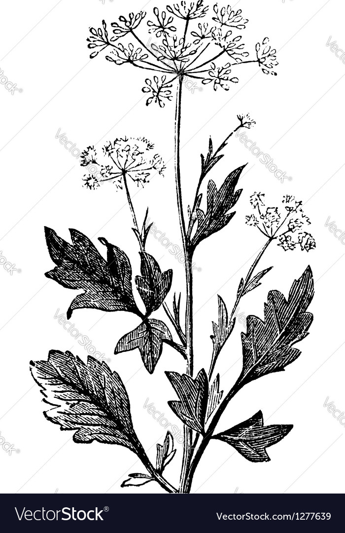 Pimpinella vintage engraving vector | Price: 1 Credit (USD $1)
