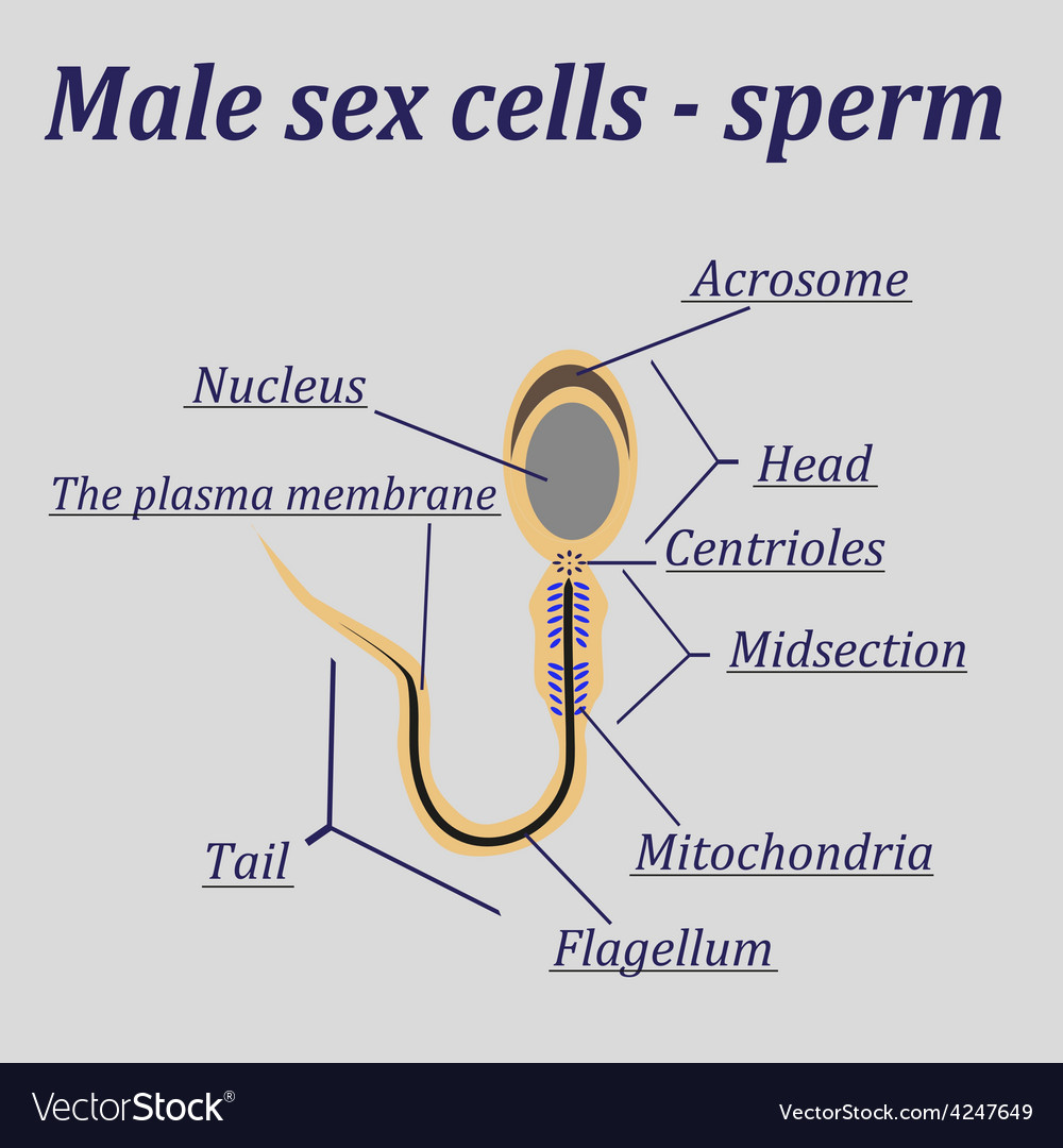 Diagram of the male sex cells - sperm vector | Price: 1 Credit (USD $1)