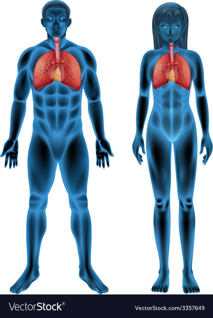 Human respiratory system vector | Price: 1 Credit (USD $1)
