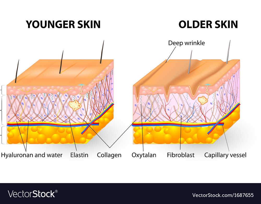 Collagen and elastin skin aging vector | Price: 1 Credit (USD $1)