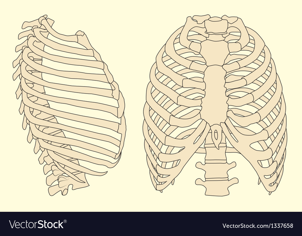 Human rib cage vector | Price: 1 Credit (USD $1)