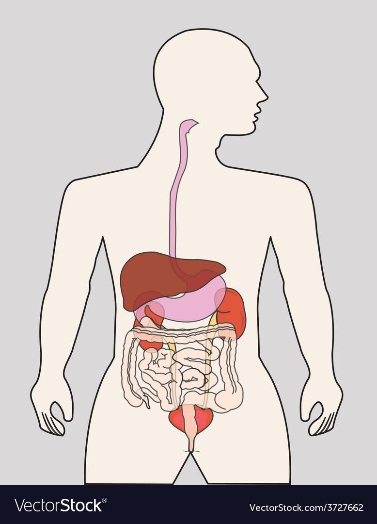 Organ system vector | Price: 1 Credit (USD $1)
