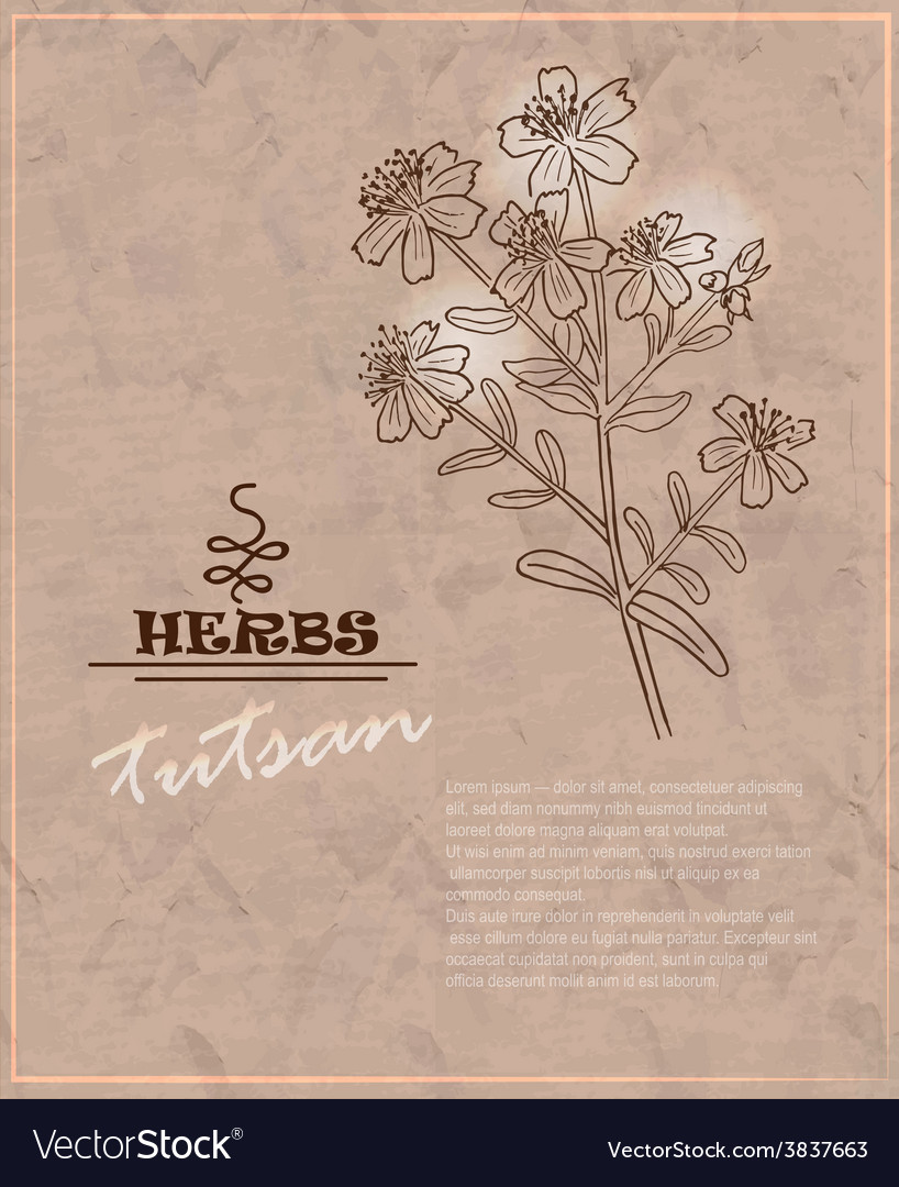Vintage background with tutsan on old paper vector | Price: 1 Credit (USD $1)