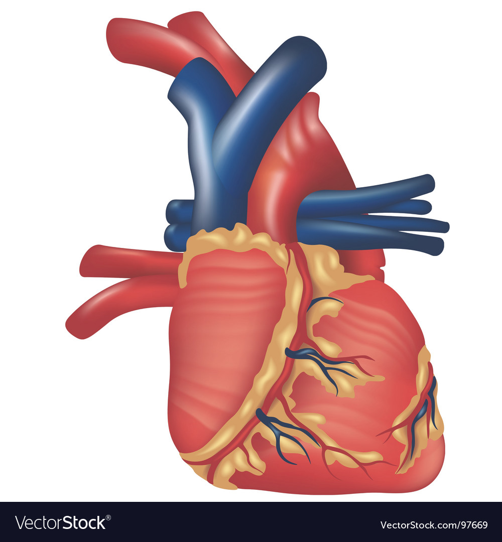 Human heart vector | Price: 1 Credit (USD $1)