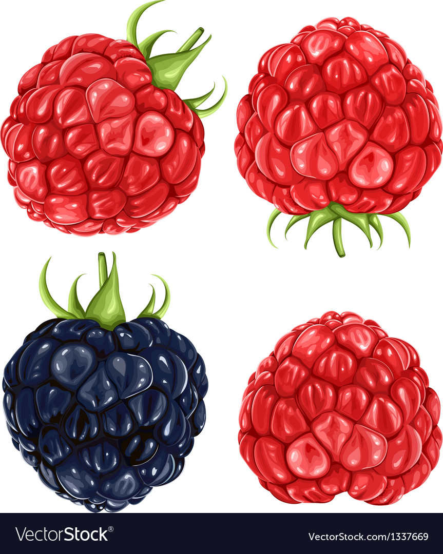 Raspberries  blackberry vector | Price: 3 Credit (USD $3)