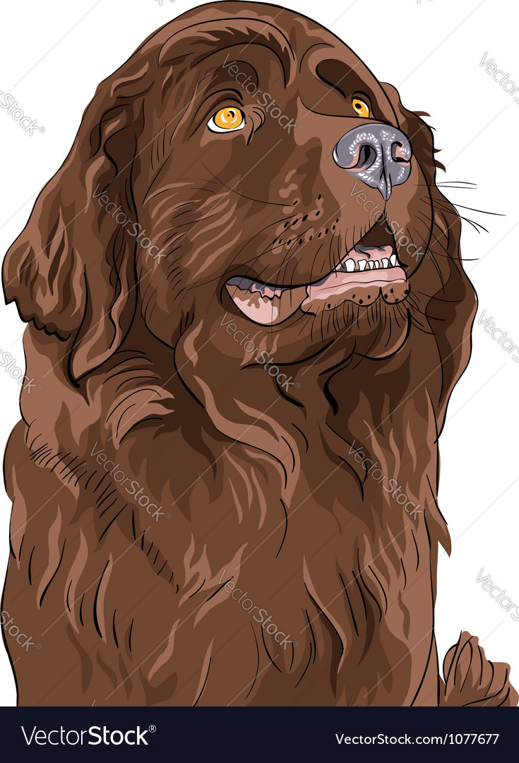 Newfoundland hound breed vector | Price: 1 Credit (USD $1)