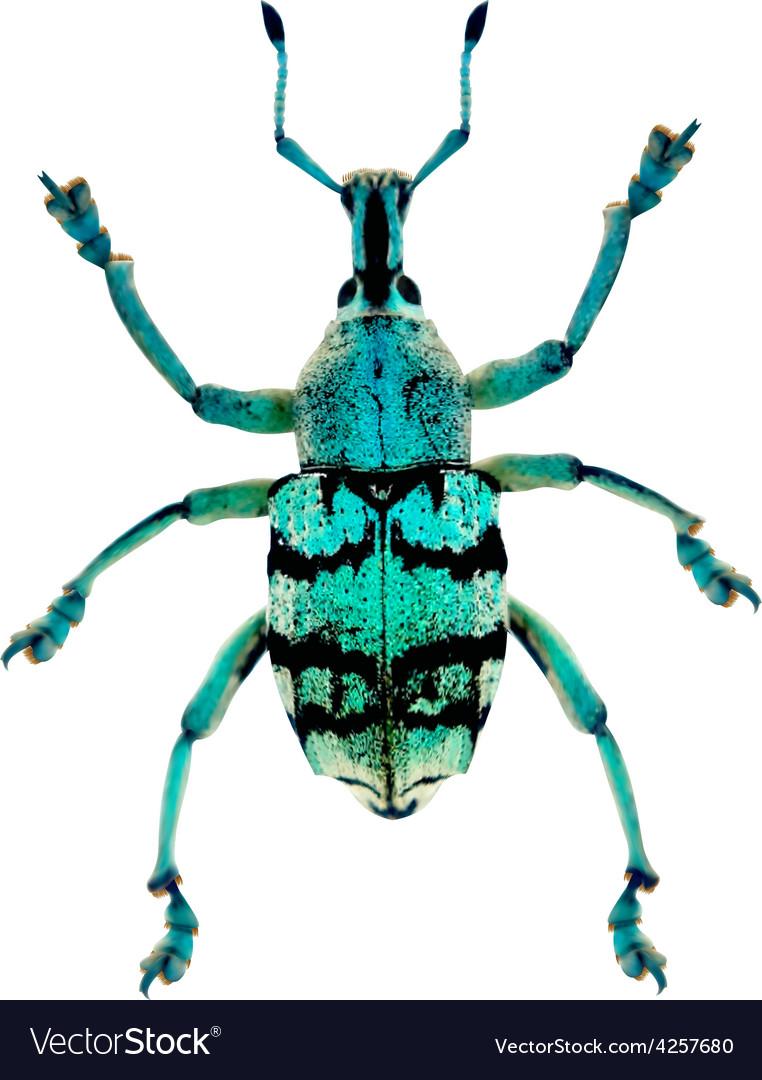 Blue weevil vector