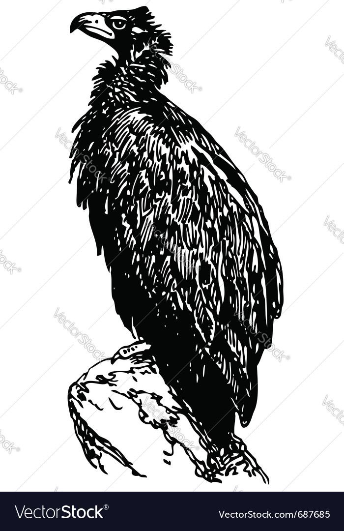 Bird cinereous vulture vector | Price: 1 Credit (USD $1)