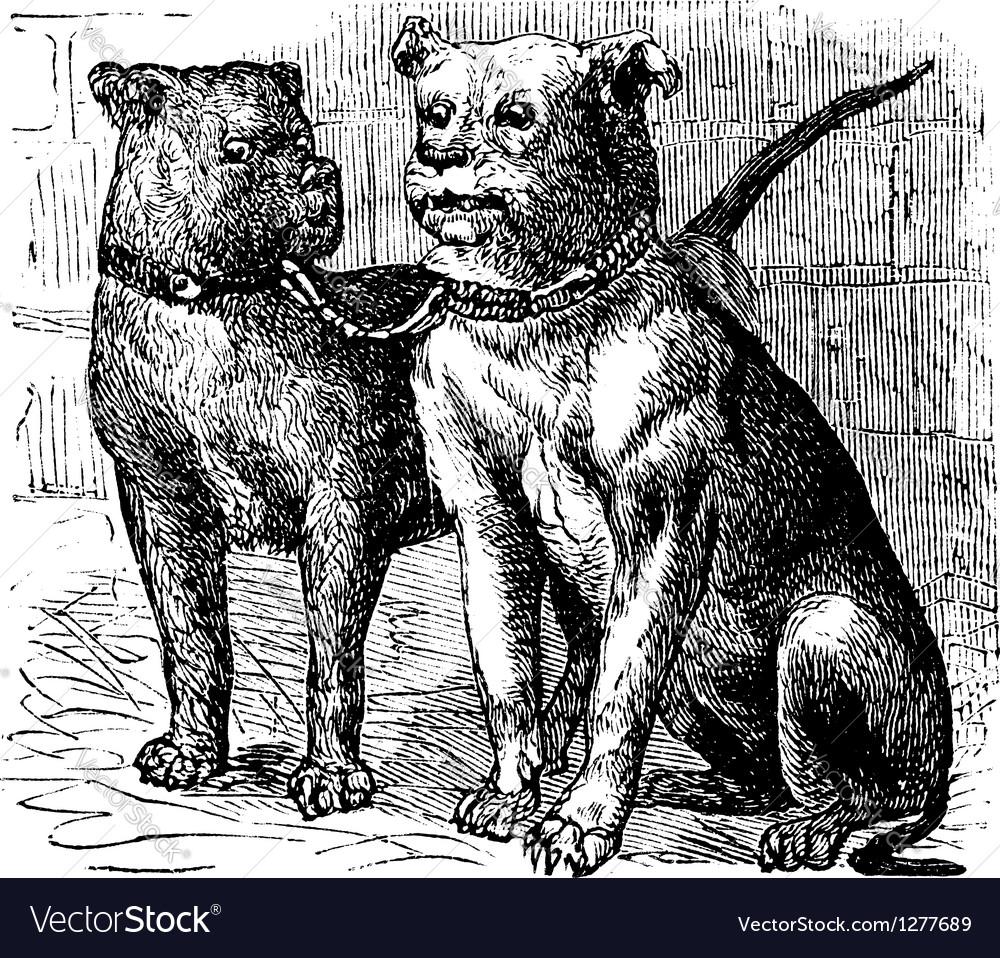 Bulldog vintage engraving vector | Price: 1 Credit (USD $1)