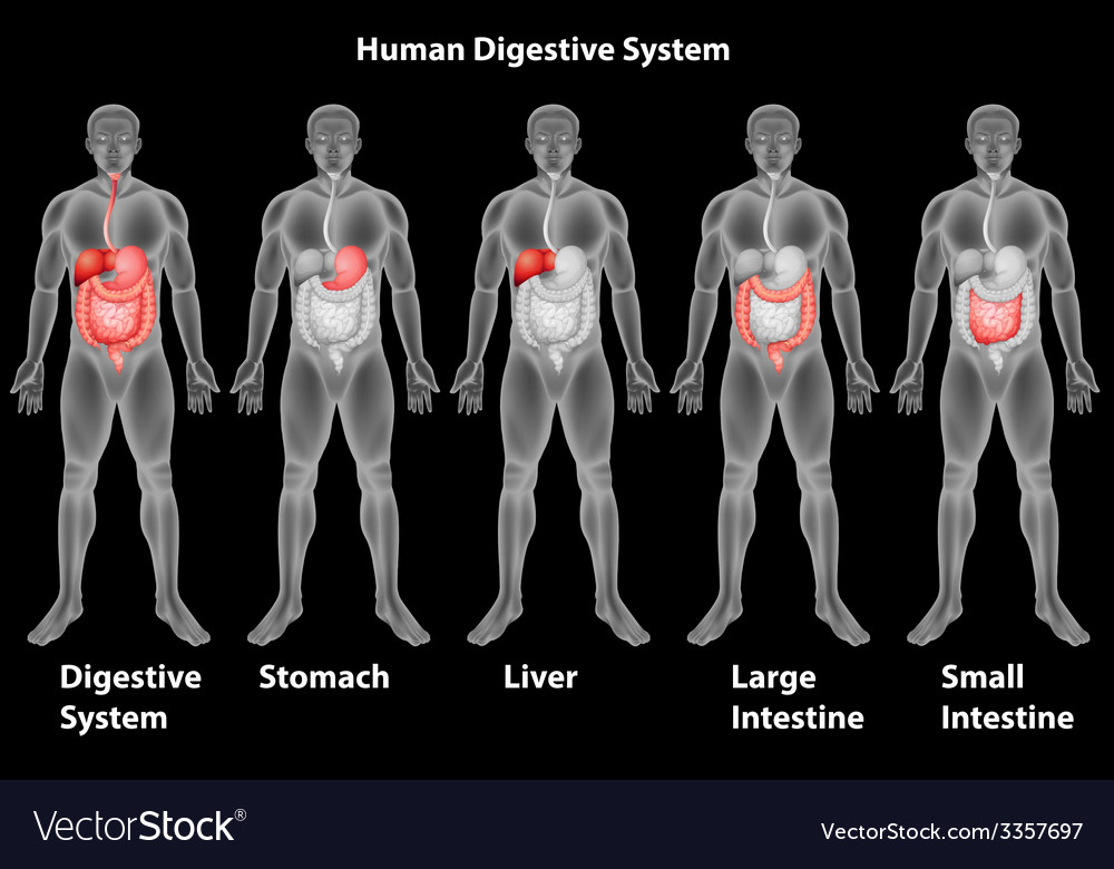 The human digestive system vector | Price: 3 Credit (USD $3)