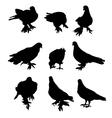 Pigeon- vector