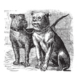 Bulldog vintage engraving vector