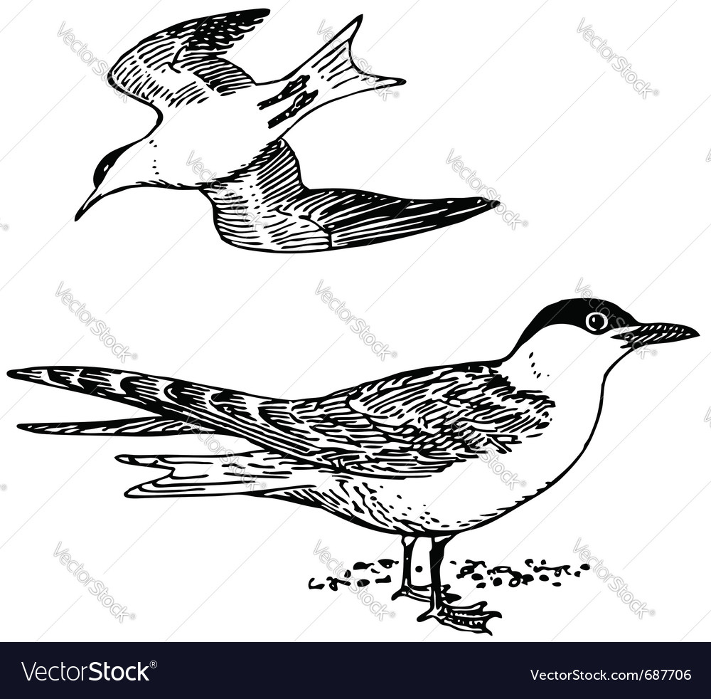 Bird sterna vector | Price: 1 Credit (USD $1)