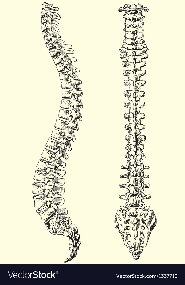 Human spine vector | Price: 1 Credit (USD $1)
