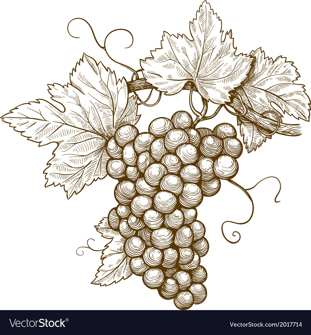 Grapes on the branch vector | Price: 1 Credit (USD $1)