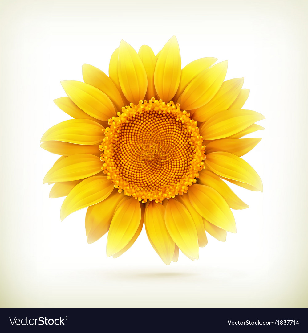 Sunflower high quality vector | Price: 1 Credit (USD $1)