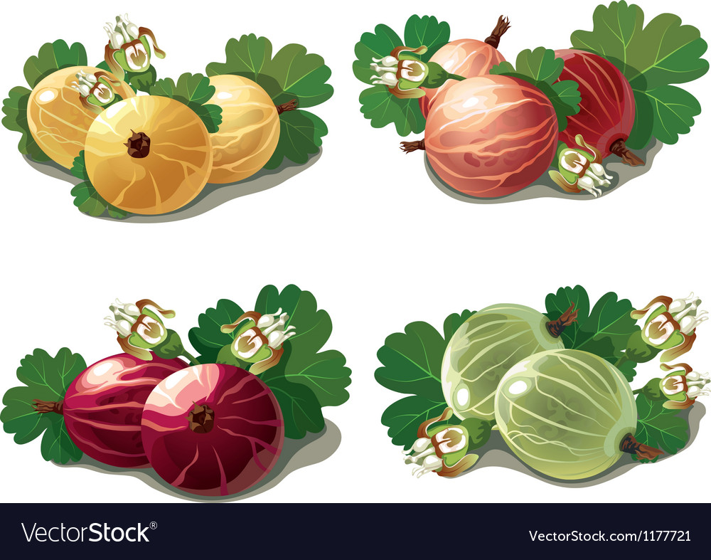 Set of ripe gooseberries vector | Price: 5 Credit (USD $5)