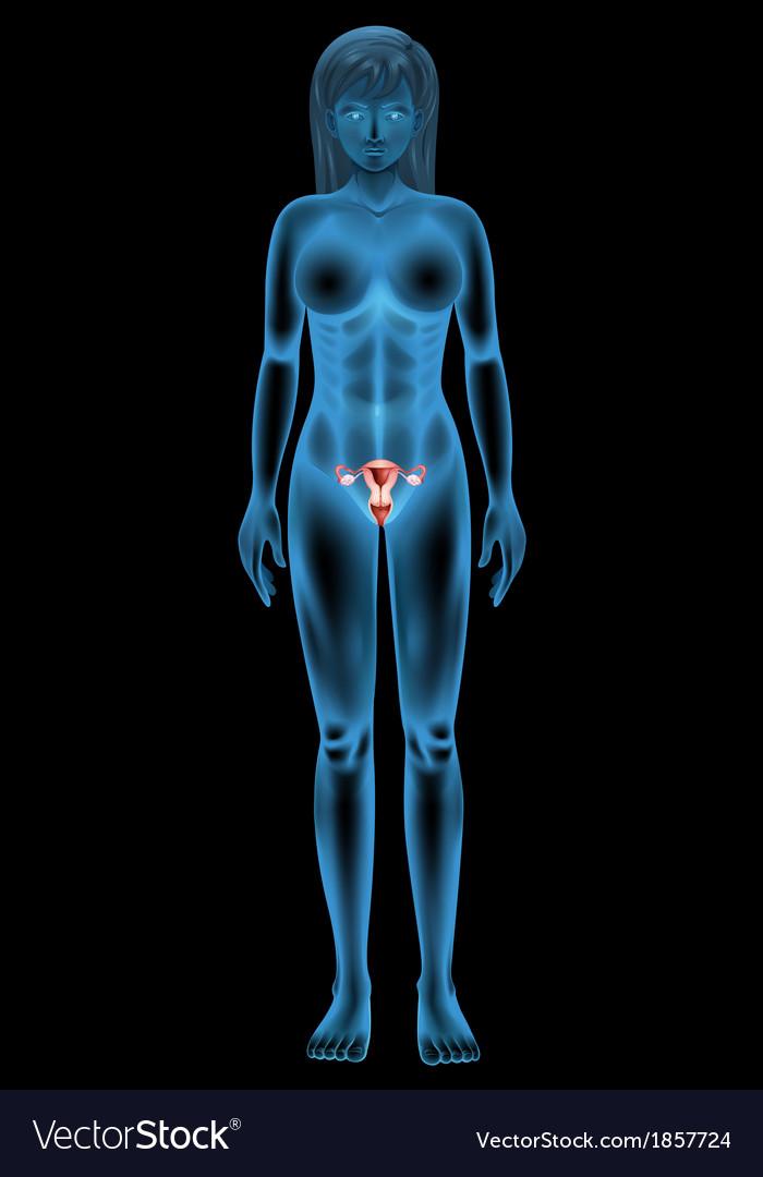 Reproductive organ of a woman vector | Price: 1 Credit (USD $1)