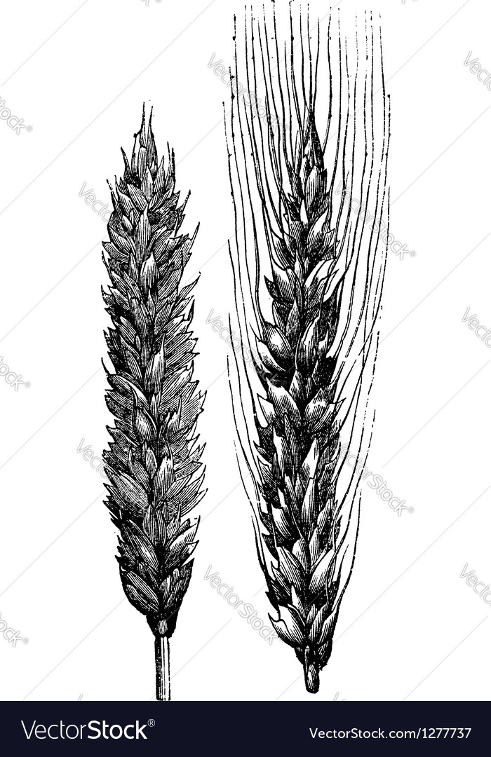 Winter wheat wheat vintage engraving vector | Price: 1 Credit (USD $1)