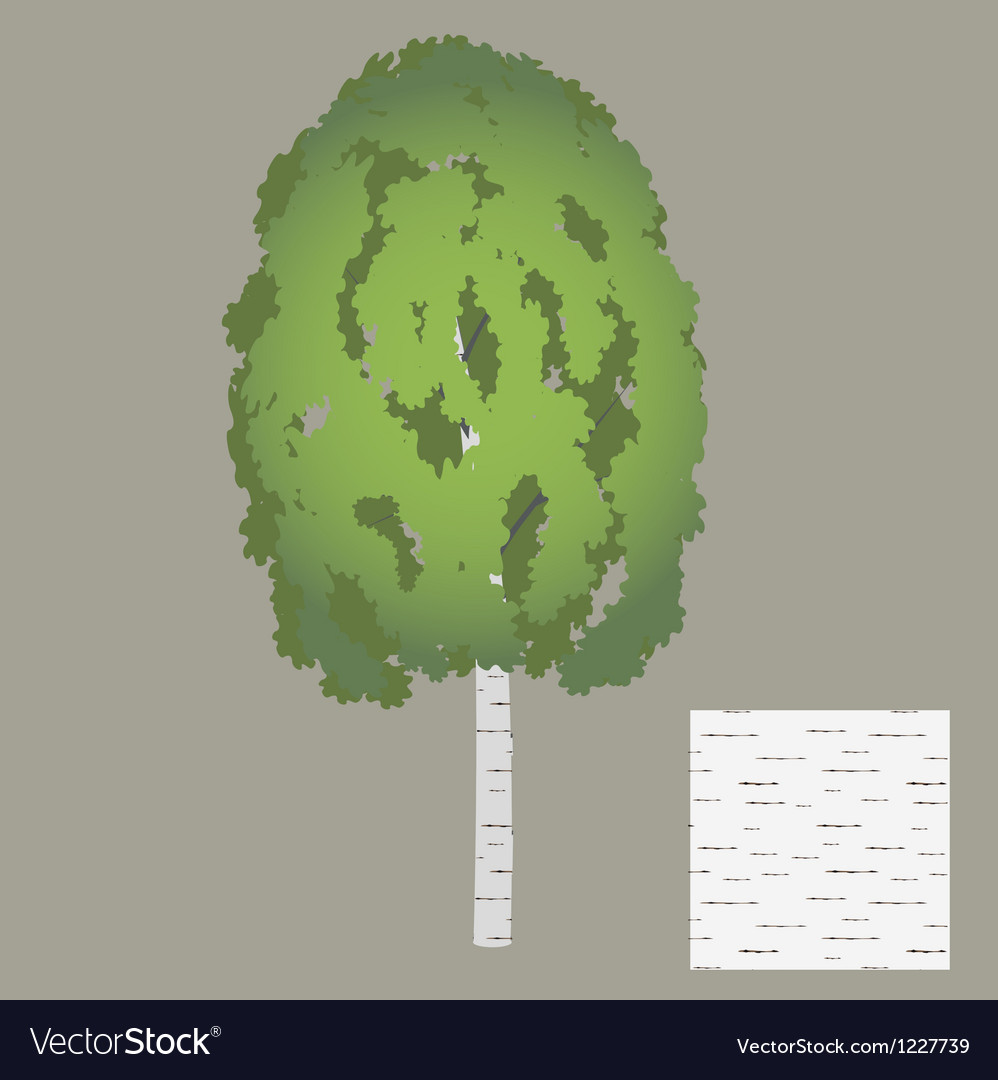 Birch vector | Price: 1 Credit (USD $1)