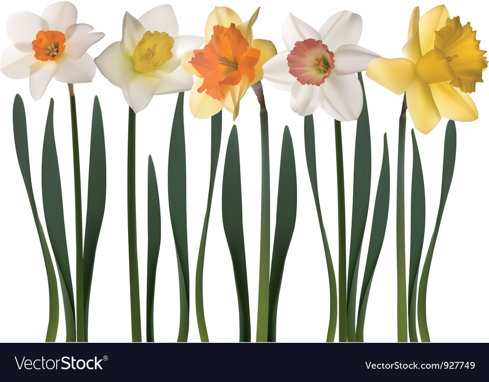 Daffodil flowers vector | Price: 3 Credit (USD $3)