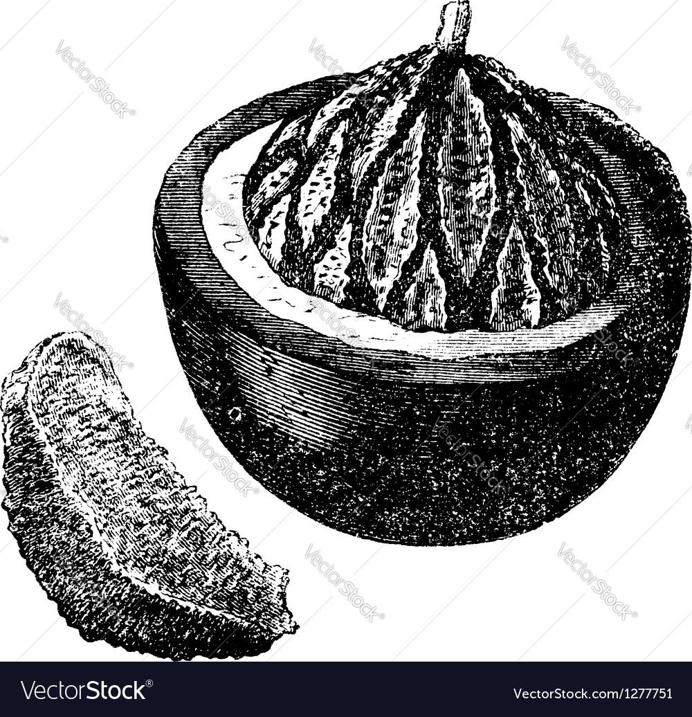 Brazil nut vintage engraving vector | Price: 1 Credit (USD $1)