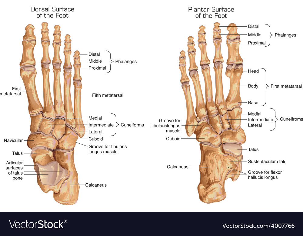 Human skeletal structure of the foot vector | Price: 3 Credit (USD $3)