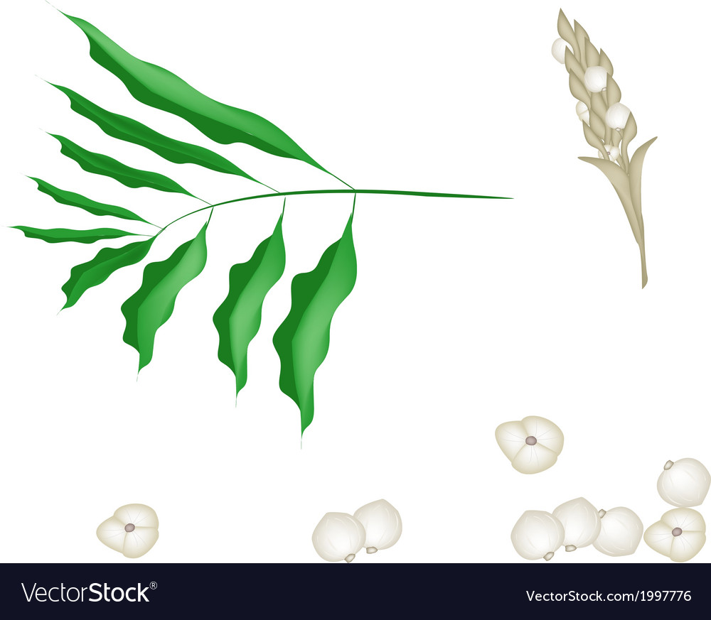 Parts of cardamon plant on white background vector | Price: 1 Credit (USD $1)