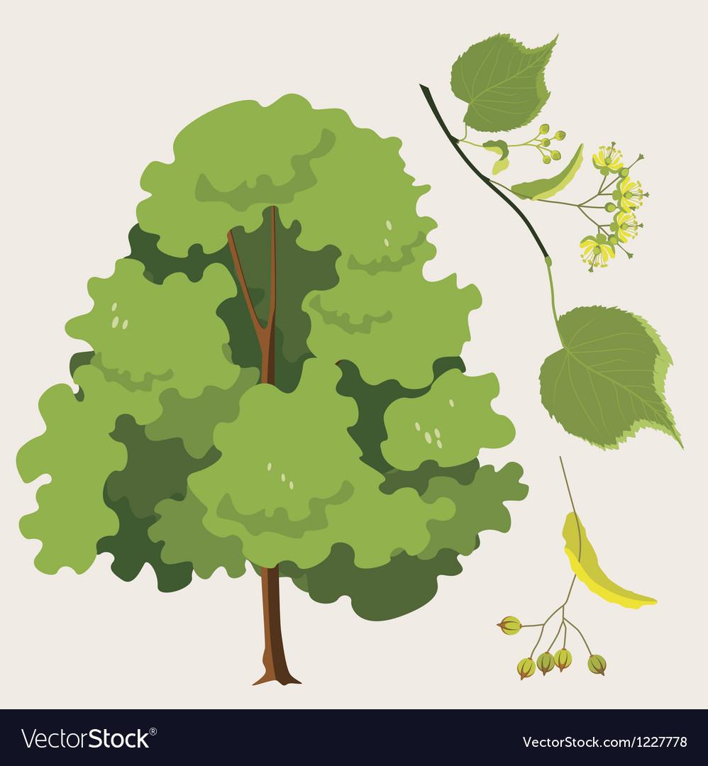 Linden tree vector | Price: 1 Credit (USD $1)