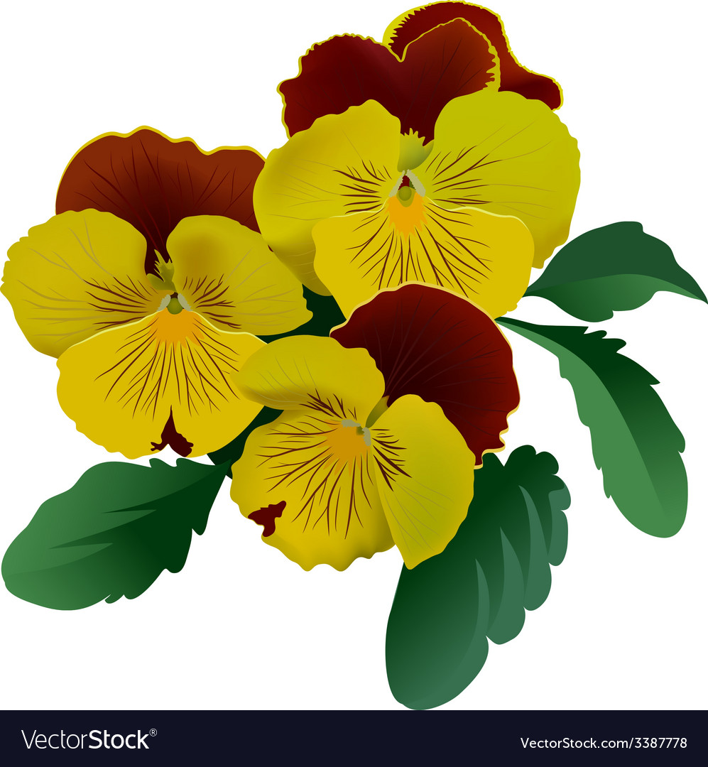 Three yellow pansy flowers with leaves vector | Price: 1 Credit (USD $1)