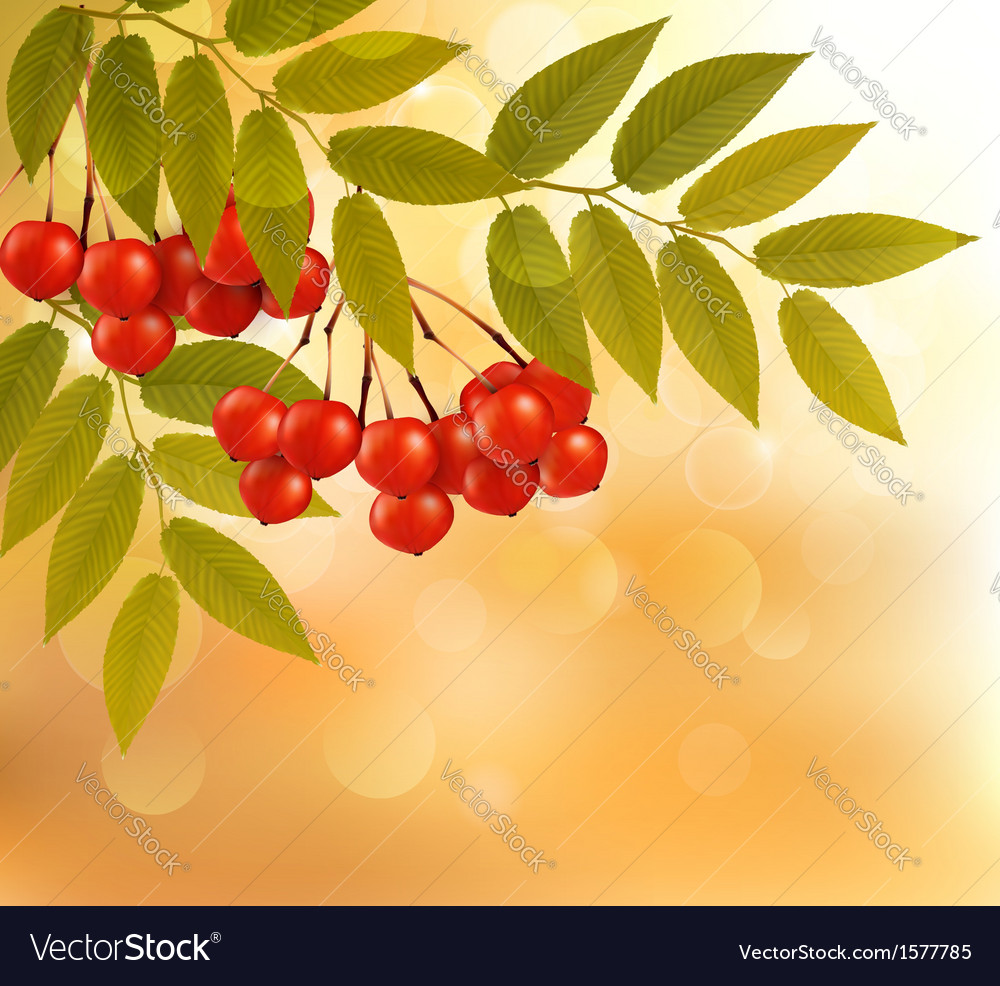 Autumn background with leaves and rowan back to vector | Price: 1 Credit (USD $1)