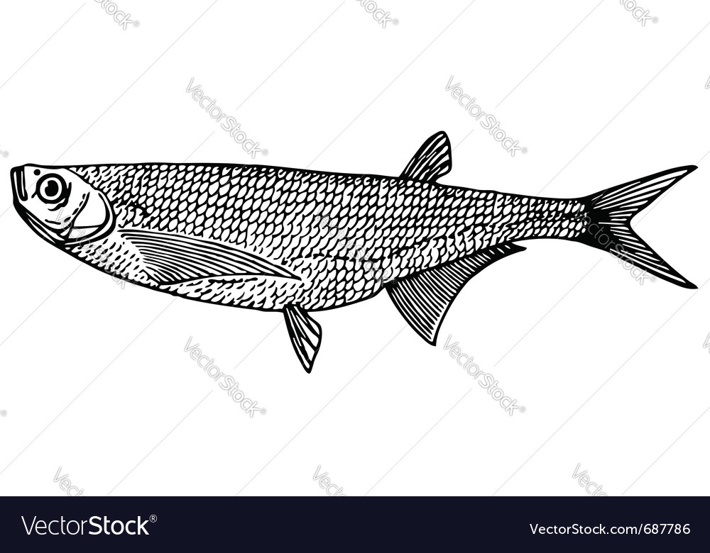 Fish ziege sabre carp vector | Price: 1 Credit (USD $1)