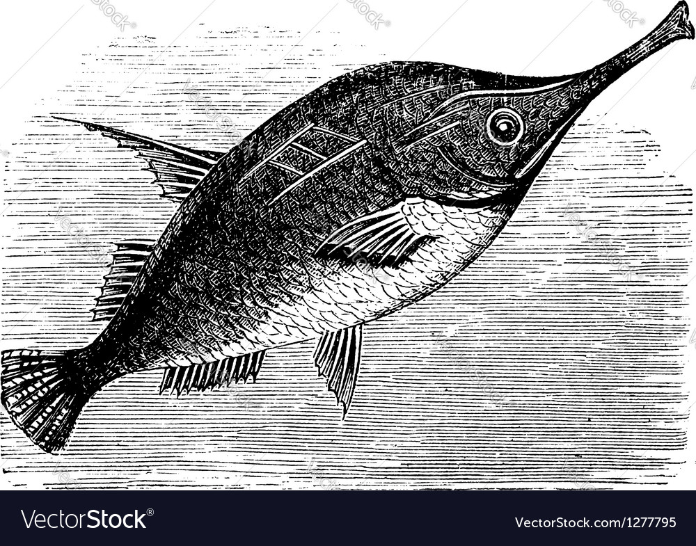 Longspine snipefish vintage engraving vector | Price: 1 Credit (USD $1)