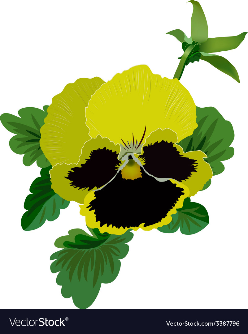 Yellow pansy flower with leaves and bud vector | Price: 1 Credit (USD $1)