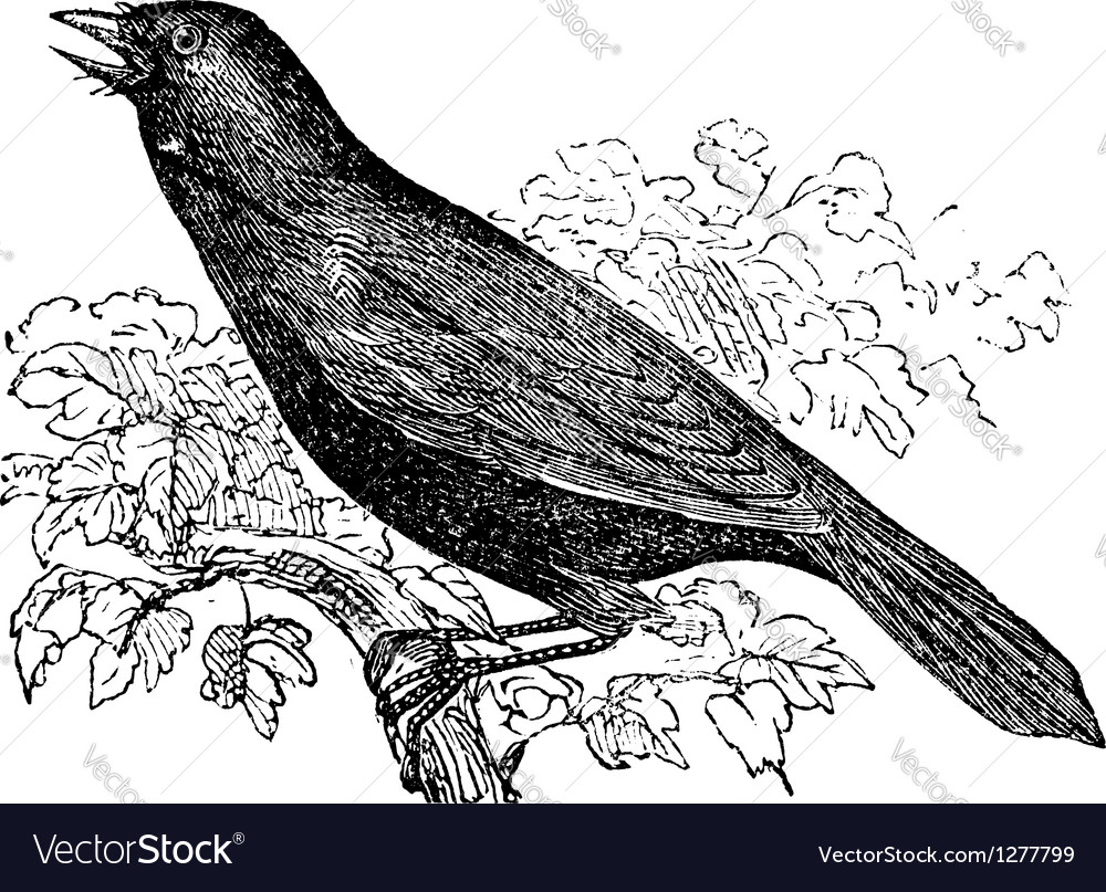 Giant cowbird vintage engraving vector | Price: 1 Credit (USD $1)