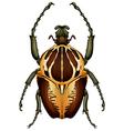 Goliathus regius - goliath beetle vector