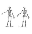 Human skeleton vintage nineteenth century vector