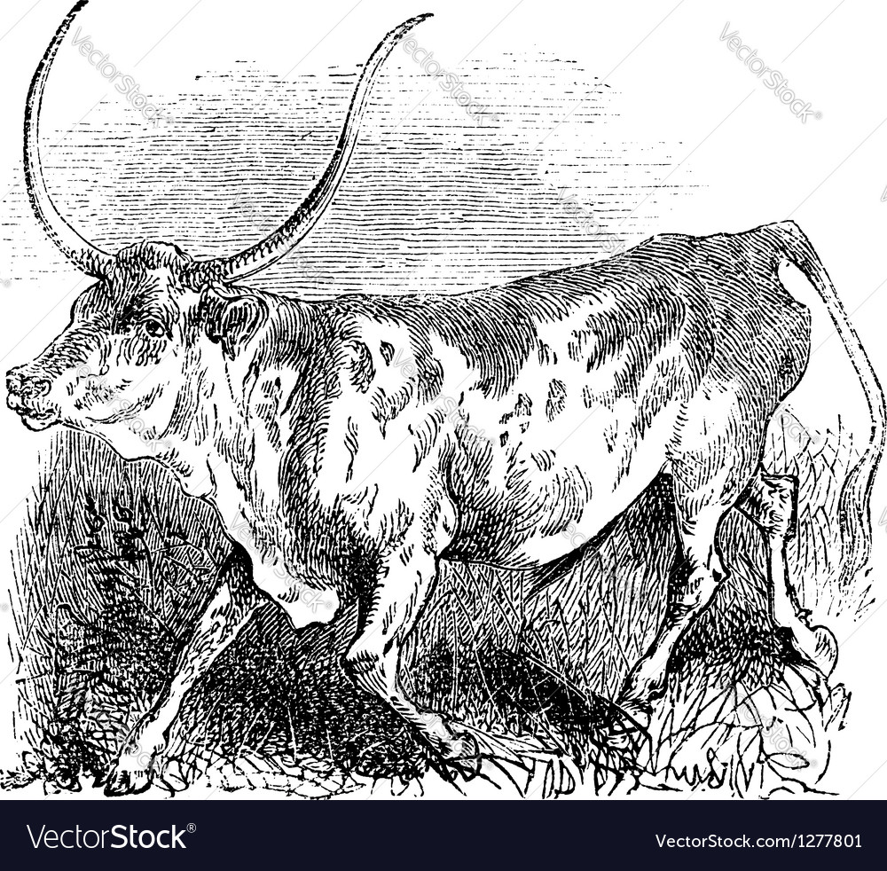 Brazilian cow vintage engraving vector | Price: 1 Credit (USD $1)