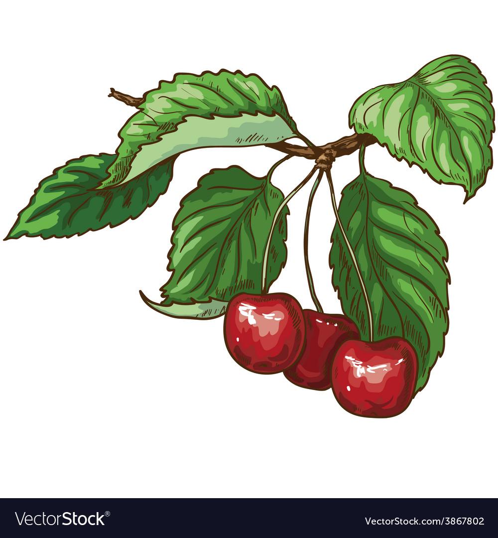 Cherry on branch vector | Price: 1 Credit (USD $1)