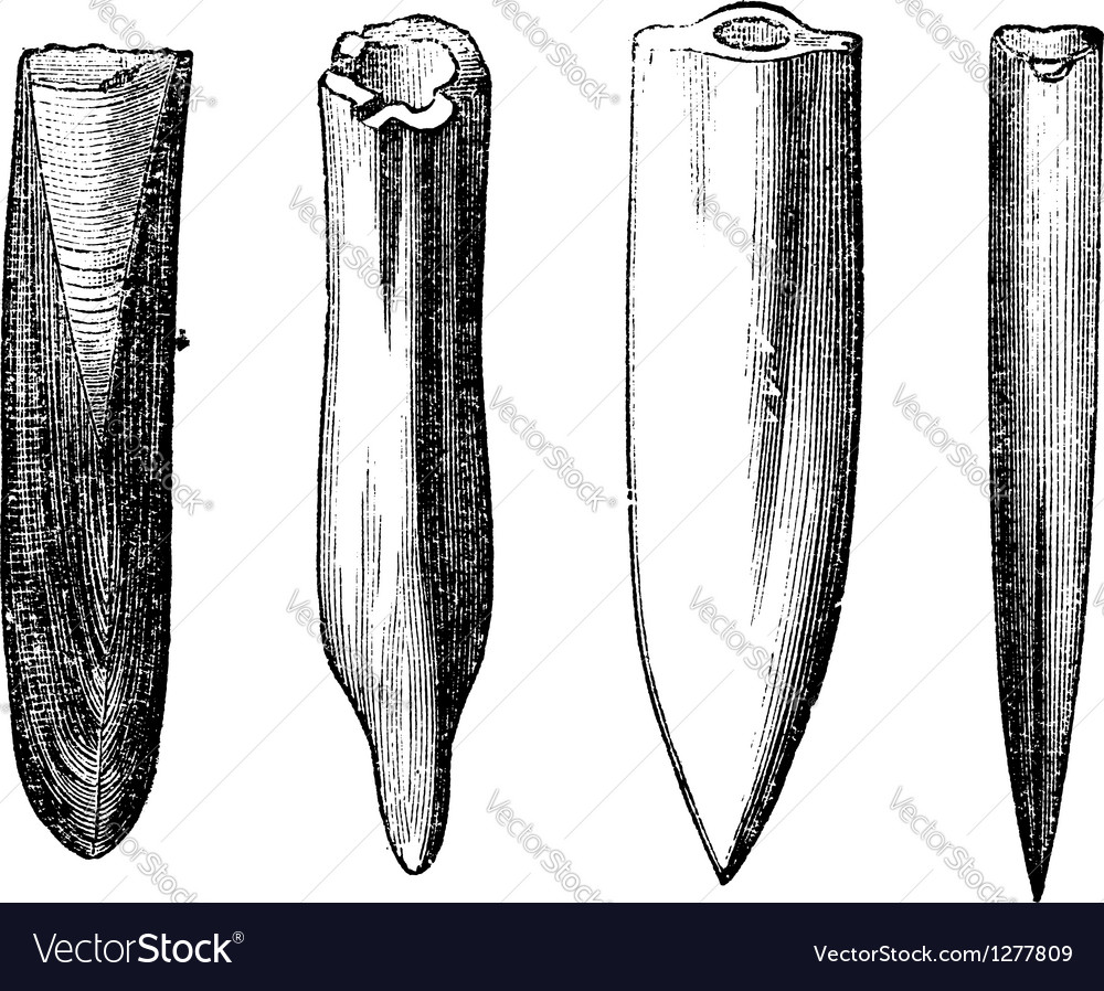 Belemnite fossils vintage engraving vector | Price: 1 Credit (USD $1)