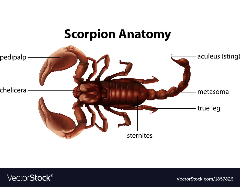 Scorpion anatomy vector | Price: 1 Credit (USD $1)