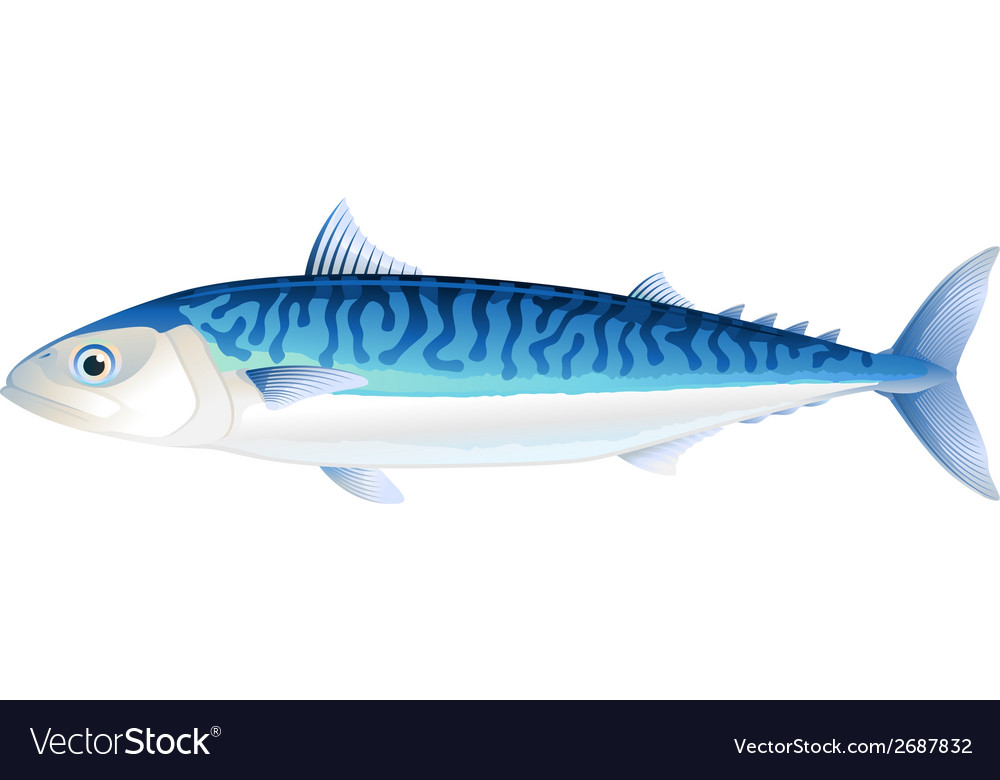 Atlantic mackerel vector | Price: 1 Credit (USD $1)