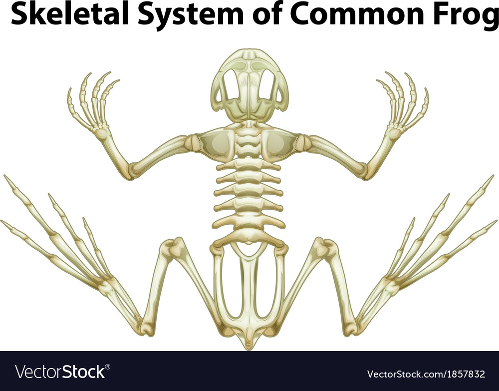 Skeletal system of a common frog vector | Price: 1 Credit (USD $1)