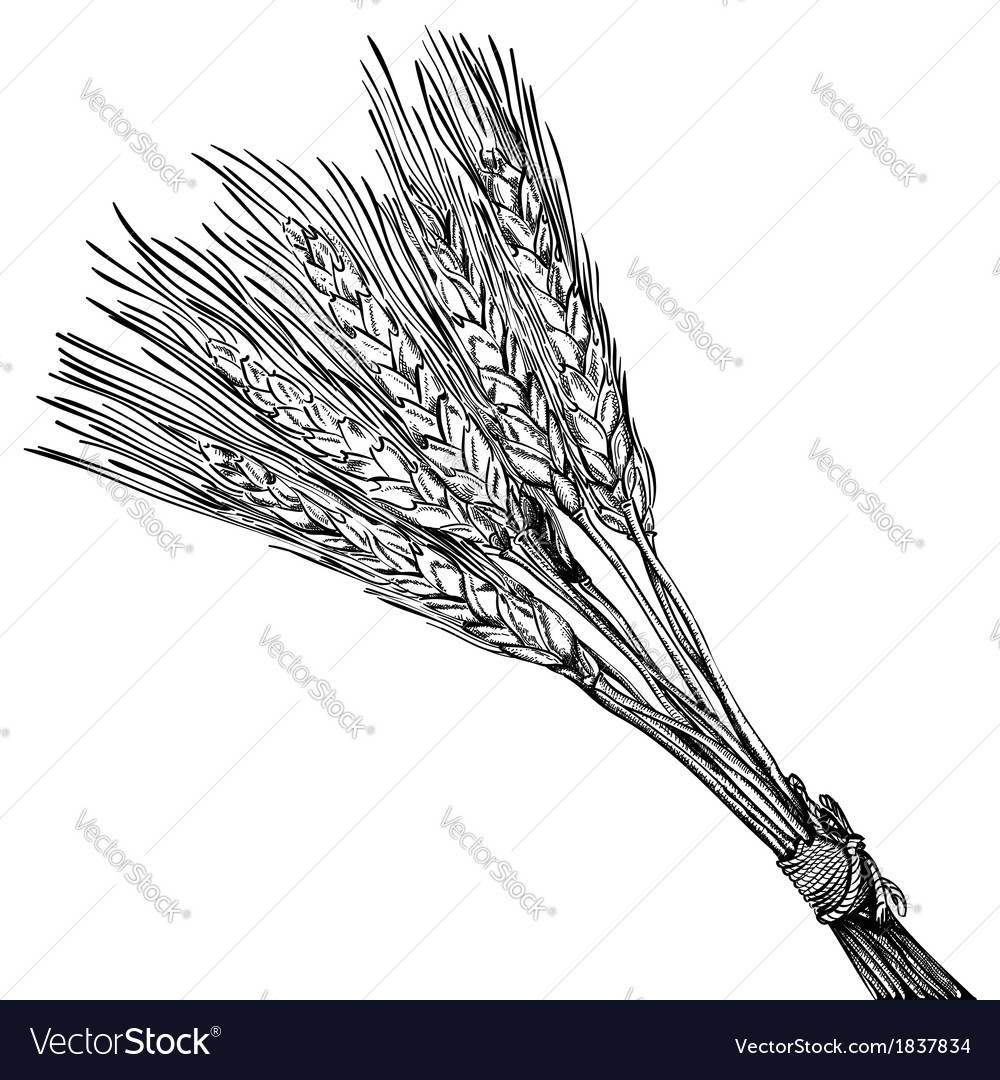 Bunch of wheat vector | Price: 1 Credit (USD $1)