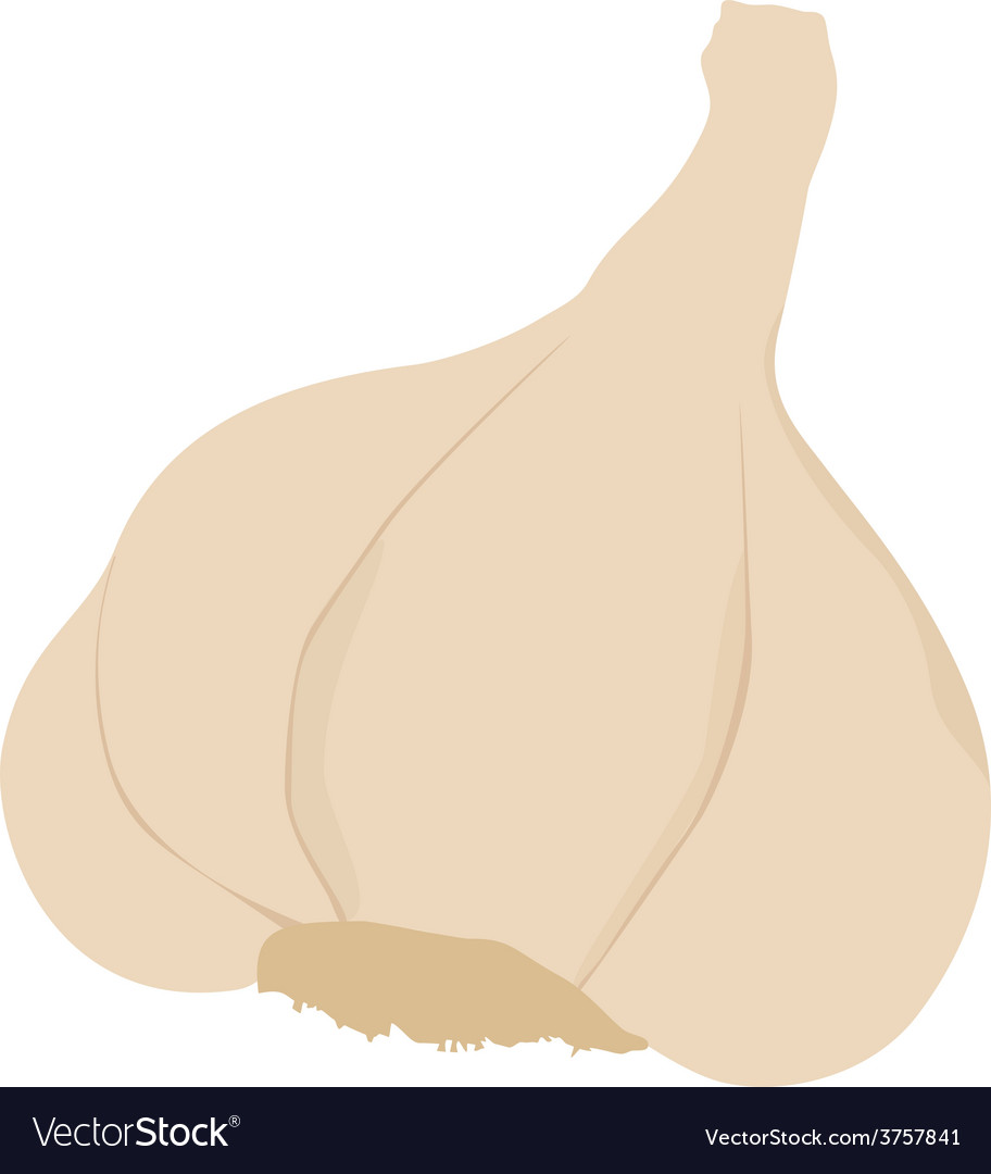 Garlic isolated vector | Price: 1 Credit (USD $1)