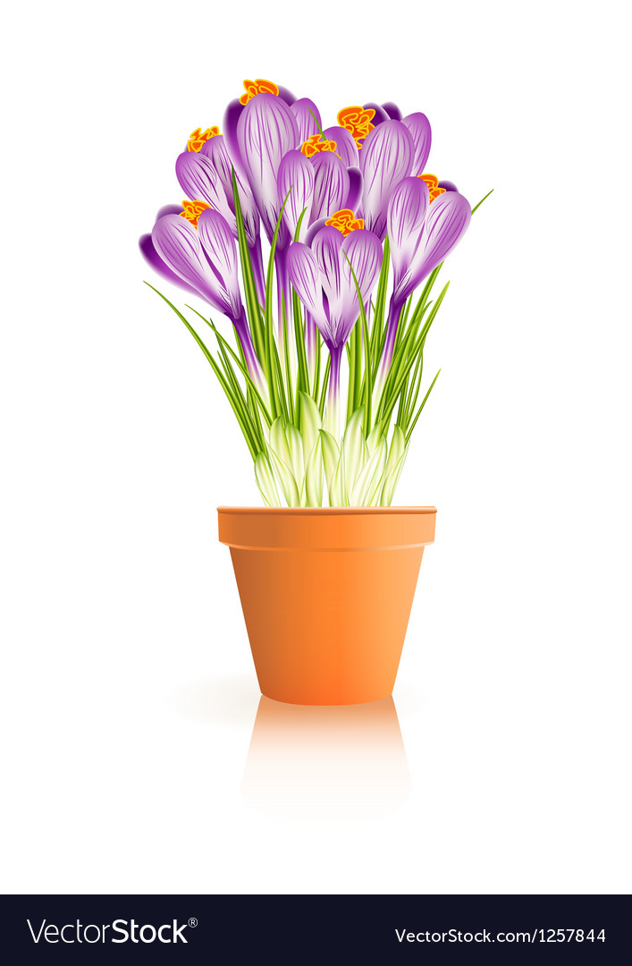 Pot crocuses white vector | Price: 1 Credit (USD $1)