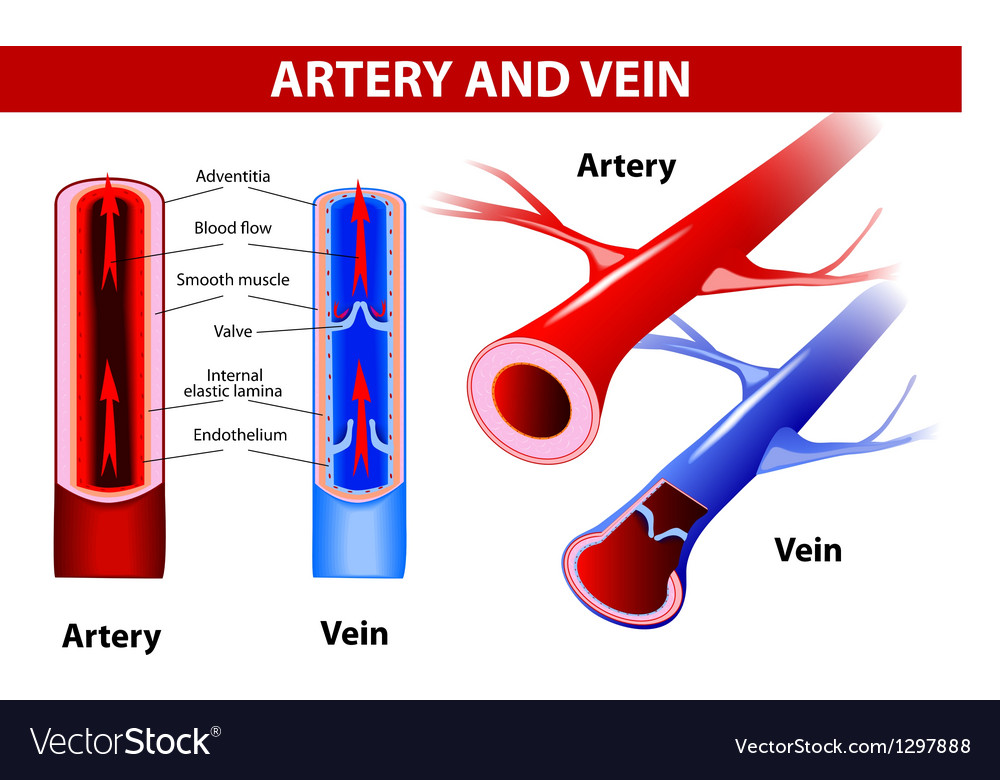 Artery and vein vector | Price: 1 Credit (USD $1)