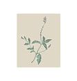 Vervain or verbena flowering plant vector